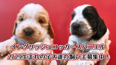 2/29生まれのイングリッシュコッカースパニエルの子犬たち