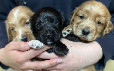 イングリッシュコッカースパニエルの子犬たちの飼い主募集中
